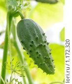 Купить «Огурец», фото № 1172320, снято 25 июля 2009 г. (c) Дмитрий Калиновский / Фотобанк Лори