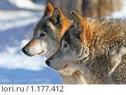 Купить «Семья волков (canis lupus). Портрет в профиль», фото № 1177412, снято 3 ноября 2007 г. (c) Татьяна Белова / Фотобанк Лори