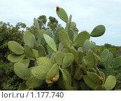 Купить «Огромный кактус», фото № 1177740, снято 15 сентября 2009 г. (c) Neta / Фотобанк Лори