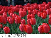 Тюльпаны. Стоковое фото, фотограф Данильченко Дарья / Фотобанк Лори