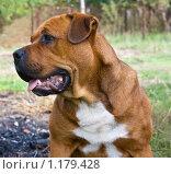 Купить «Портрет собаки», фото № 1179428, снято 4 октября 2009 г. (c) Олег Хархан / Фотобанк Лори