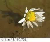 Купить «Ромашка», фото № 1180752, снято 2 августа 2008 г. (c) Любецкая Марина / Фотобанк Лори