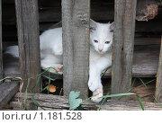 Белый кот лежит за забором. Стоковое фото, фотограф Ольга Зарубина / Фотобанк Лори