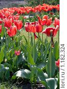 Красные тюльпаны. Стоковое фото, фотограф Евгений Заржицкий / Фотобанк Лори