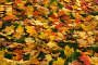 Опавшие кленовые листья на траве, эксклюзивное фото № 1185236, снято 6 октября 2008 г. (c) Алёшина Оксана / Фотобанк Лори