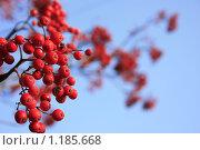 Грозди красной рябины. Стоковое фото, фотограф Лютоев Игорь / Фотобанк Лори