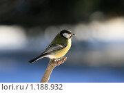 Купить «Портрет синицы на ветке», фото № 1188932, снято 28 марта 2008 г. (c) Владимир Борисов / Фотобанк Лори