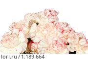 Купить «Розовые цветки гвоздики с каплями росы, изолировано», фото № 1189664, снято 12 марта 2009 г. (c) Юрий Брыкайло / Фотобанк Лори
