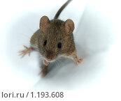 Мышь. Стоковое фото, фотограф Антон Коршунов / Фотобанк Лори