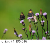 Купить «Бабочки на осоте», эксклюзивное фото № 1195016, снято 11 июля 2009 г. (c) Алёшина Оксана / Фотобанк Лори