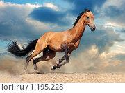 Купить «Жеребец ахалтекинской породы на свободе», фото № 1195228, снято 24 июля 2009 г. (c) Титаренко Елена / Фотобанк Лори