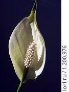 Купить «Цветок», фото № 1200976, снято 19 июня 2008 г. (c) Молодкин Михаил Владимирович / Фотобанк Лори