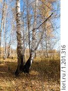 Купить «Обгоревшие две березы в осеннем лесу», фото № 1201316, снято 1 октября 2009 г. (c) Валерий Лифонтов / Фотобанк Лори