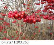 Подмороженные кисти ягод калины. Стоковое фото, фотограф Андрей Гагарин / Фотобанк Лори