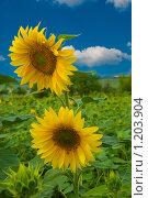 Подсолнух, фото № 1203904, снято 11 июля 2009 г. (c) Александр Новичков / Фотобанк Лори