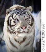Купить «Белый тигр», фото № 1203936, снято 7 февраля 2009 г. (c) Петр Кириллов / Фотобанк Лори