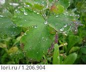 Капли росы на листе. Стоковое фото, фотограф Олег Вихарев / Фотобанк Лори