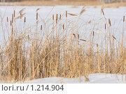 Купить «Рогоз и тростник на замерзшем озере», фото № 1214904, снято 14 марта 2009 г. (c) Константин Исаков / Фотобанк Лори