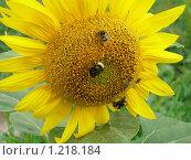 Купить «Подсолнух», фото № 1218184, снято 30 июня 2007 г. (c) Мария Дидиченко / Фотобанк Лори