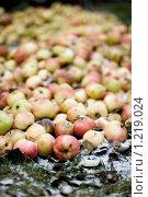 Куча яблок-падалиц на припорошенной снегом земле. Стоковое фото, фотограф Михаил Пименов / Фотобанк Лори