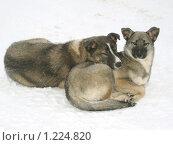 Две подруги-собаки отдыхающих на снегу. Стоковое фото, фотограф Вера Попова / Фотобанк Лори