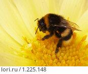 Купить «Шмель, чистящийся на цветке», фото № 1225148, снято 18 августа 2007 г. (c) Александр Кузовлев / Фотобанк Лори