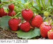 Купить «Кусты земляники с ягодами», фото № 1225228, снято 8 июля 2006 г. (c) Александр Кузовлев / Фотобанк Лори