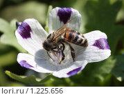 Пчела. Стоковое фото, фотограф Тучкина Любовь Владимировна / Фотобанк Лори