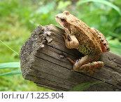 Лягушка на бревне. Стоковое фото, фотограф Нина Солнцева / Фотобанк Лори