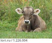 Корова, фото № 1226004, снято 20 августа 2009 г. (c) Иван / Фотобанк Лори