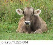 Купить «Корова», фото № 1226004, снято 20 августа 2009 г. (c) Иван / Фотобанк Лори