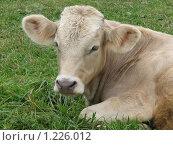 Корова, фото № 1226012, снято 20 августа 2009 г. (c) Иван / Фотобанк Лори