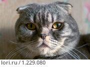 Шотландский вислоухий кот. Стоковое фото, фотограф Виктория Кириллова / Фотобанк Лори