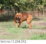 Купить «Собака облизывается», фото № 1234312, снято 4 октября 2009 г. (c) Олег Хархан / Фотобанк Лори