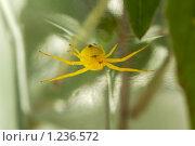 Купить «Желтый паук», фото № 1236572, снято 3 июля 2007 г. (c) Литова Наталья / Фотобанк Лори