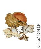 Купить «Морские ракушки на белом фоне», фото № 1244824, снято 13 ноября 2009 г. (c) Neta / Фотобанк Лори