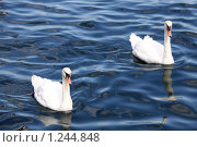 Купить «Пара лебедей», фото № 1244848, снято 4 августа 2009 г. (c) Маргарита Герм / Фотобанк Лори