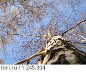 Береза. Стоковое фото, фотограф Станислав Горбачев / Фотобанк Лори