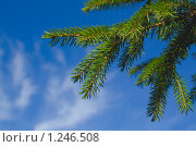 Еловая ветка на фоне неба. Стоковое фото, фотограф Kribli-Krabli / Фотобанк Лори