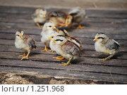 Купить «Цыплята миниатюрной породы», фото № 1251968, снято 22 августа 2009 г. (c) Анастасия Некрасова / Фотобанк Лори