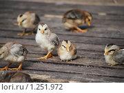 Купить «Цыплята миниатюрной породы на отдыхе», фото № 1251972, снято 22 августа 2009 г. (c) Анастасия Некрасова / Фотобанк Лори
