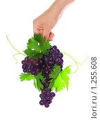 Купить «Рука держащая гроздь черного винограда с зелеными листьями и виноградными усиками», фото № 1255608, снято 20 июня 2009 г. (c) Vitas / Фотобанк Лори