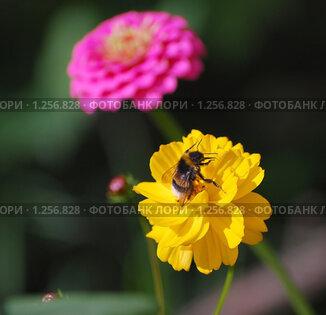 Купить «Шмель на цветке желтой космеи», эксклюзивное фото № 1256828, снято 9 августа 2009 г. (c) Юрий Морозов / Фотобанк Лори