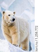 Купить «Белый медведь в зоопарке», фото № 1258772, снято 7 февраля 2009 г. (c) Петр Кириллов / Фотобанк Лори