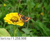 Бабочка крапивница на желтом цветке циннии. Стоковое фото, фотограф Нина Солнцева / Фотобанк Лори