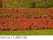 Купить «Кизильник черноплодный (Cotoneaster melanocarpus)», фото № 1260132, снято 14 октября 2009 г. (c) Алёшина Оксана / Фотобанк Лори
