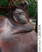 Купить «Обезьяна страдающая ожирением», фото № 1260504, снято 16 августа 2018 г. (c) Анжелика Самсонова / Фотобанк Лори