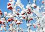 Рябина под снегом, фото № 1264308, снято 12 декабря 2007 г. (c) Михаил Коханчиков / Фотобанк Лори