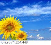 Купить «Два прекрасных подсолнуха на фоне голубого неба с облаками», фото № 1264448, снято 2 декабря 2009 г. (c) Татьяна Федулова / Фотобанк Лори