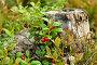 Ягоды брусники на пеньке, фото № 1264464, снято 4 сентября 2009 г. (c) Кекяляйнен Андрей / Фотобанк Лори